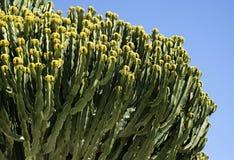 Arbre vert de cactus sur le ciel bleu photos stock
