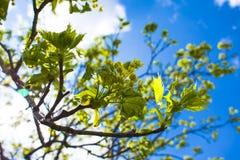 Arbre vert de floraison photo stock