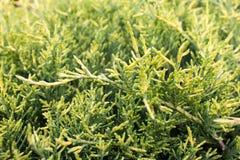 Arbre vert de thuja Photographie stock libre de droits