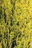 Arbre vert de thuja Photo stock