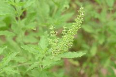 Arbre vert frais de basilicum d'ocimum dans l'arbre Basil de jardin de nature photo stock