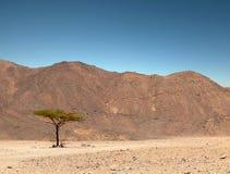 Arbre vert isolé dans le désert. Image stock