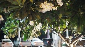 Arbre vert thaïlandais avec des fleurs de plumeria sur un fond brouillé de rue et des voitures de dépassement clips vidéos