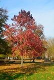 Arbre vibrant lumineux de sweetgum de couleur et x28 ; Styraciflua& x29 de Liquidambar ; Photo stock