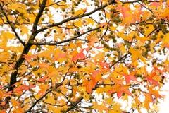 Arbre vif d'automne Photographie stock libre de droits