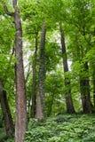 Arbres à feuilles caduques dans la forêt envahie Image stock