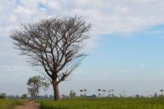 Arbres à feuilles caduques nus sur un gisement de riz Photographie stock libre de droits