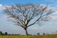 Arbres à feuilles caduques nus sur un gisement de riz Images libres de droits