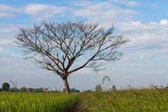 Arbres à feuilles caduques nus sur un gisement de riz Photographie stock
