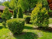 Arbres à feuilles persistantes dans un petit jardin avec le feuillage image libre de droits