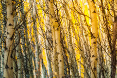 Arbres abstraits de tremble du Colorado de modèle de fond image libre de droits