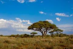 Arbres africains d'acacia dans le buisson de la savane Image libre de droits