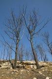 Arbres après incendie Image libre de droits