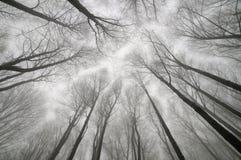 Arbres ascendants dans la forêt d'hiver Image libre de droits