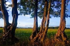 Arbres au coucher du soleil sur une prairie au printemps Photos libres de droits