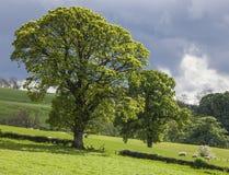 Arbres au-dessus du champ d'herbe, Ecosse Photographie stock