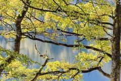 Arbres au lac Kochelsee Image libre de droits