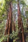 Arbres au parc de Muir Redwood photo stock
