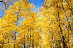 Arbres automnaux d'or contre le ciel bleu Images libres de droits