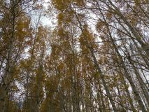 Arbres, automne, jaune, feuille, milieux, verger, blanc, tronc, bouleau, couronne photographie stock