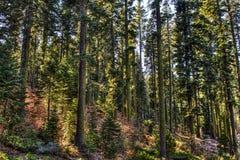 Arbres avec de la mousse dans la forêt Photographie stock libre de droits