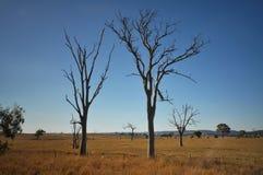 Arbres avec le dieback dans le domaine de l'herbe sèche Image libre de droits