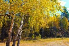 Arbres avec les feuilles colorées sous le ciel bleu dans la forêt russe de réservation en automne Photographie stock libre de droits