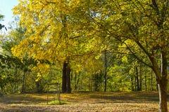 Arbres avec les feuilles jaunes Images libres de droits