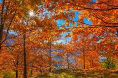 Arbres avec les feuilles rouges Image stock