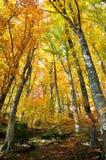 Arbres avec les lames jaunes en automne Image libre de droits