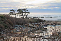 Arbres balayés par le vent silhouettés contre un coucher du soleil nuageux à la plage Image stock