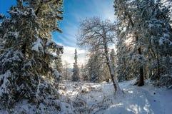 Arbres blancs comme neige en parc national de Zyuratkul photographie stock libre de droits