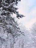 Arbres bleus et rouges de sapin et de pin dans la neige de la forêt d'hiver photo libre de droits