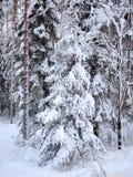 Arbres bleus et rouges de sapin et de pin dans la neige de la forêt d'hiver images libres de droits