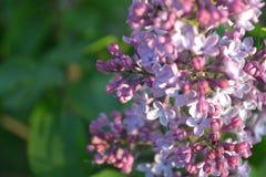 Arbres bourgeonnant au printemps Photo stock
