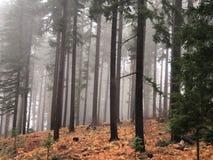Arbres brûlés dans une forêt en brouillard Photographie stock libre de droits