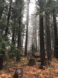 Arbres brûlés en brouillard de forêt Images libres de droits