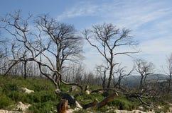 Arbres brûlés dans la forêt Images stock