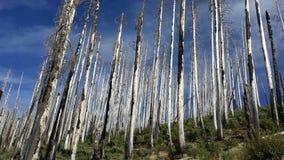 Arbres brûlés en bois mort Photographie stock