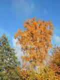 Arbres colorés en automne, Lithuanie Photos libres de droits