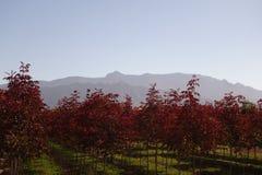 Arbres colorés par rouge contre les montagnes Image stock