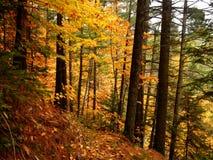 Arbres colorés profondément dans les bois pendant un été indien de la Saint-Martin du Québec photos libres de droits