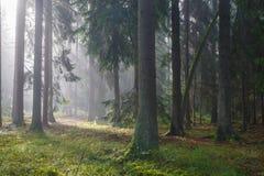 Arbres coniféres contre la lumière du lever de soleil brumeux Photographie stock libre de droits