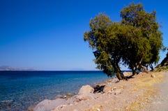 Arbres coniféres sur la côte en Grèce image libre de droits