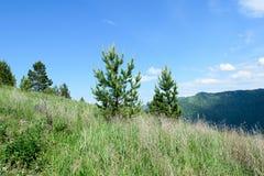 Arbres coniféres sur une colline donnant sur les montagnes avec un bleu Photos libres de droits
