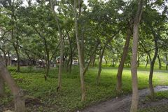 Arbres développés dans les lieux du Hall municipal de Matanao, Davao del Sur, Philippines photographie stock libre de droits