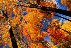 Arbres d'érable d'automne Images stock