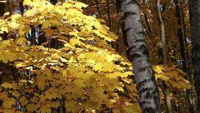 Arbres d'érable dans une forêt sur le vent banque de vidéos