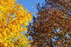 Arbres d'érable le matin ensoleillé d'automne images stock