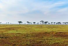 Arbres d'acacia dans la savane chez l'Afrique Image libre de droits